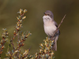 lesser whitethroat(Sylvia curruca)