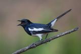 oriental magpie-robin(Copsychus saularis)