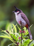 red-whiskered bulbul(Pycnonotus jocosus)