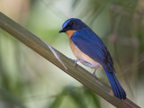 hill blue flycatcher(Cyornis banyumas)