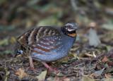 rufous-throated partridge(Arborophila rufogularis)