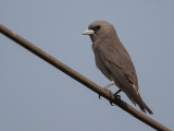ashy woodswallow(Artamus fuscus)