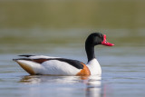 common shelduck(Tadorna tadorna)