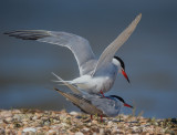 common tern(Sterna hirundo)