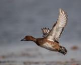ferruginous duck(Aythya nyroca)