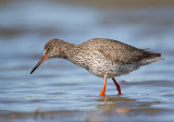 common redshank(Tringa totanus)