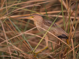 yellow bittern(Ixobrychus sinensis)