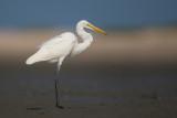 great egret(Ardea alba)
