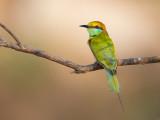 green bee-eater(Merops orientalis)