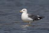 heuglin's gull(Larus heuglini)