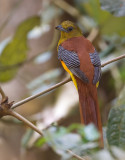 orange-breasted trogon(Harpactes oreskios)