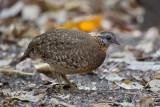scaly-breasted partridge  (Arborophila chloropus)