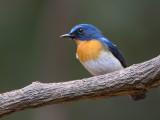 tickell's blue flycatcher(Cyornis tickelliae)