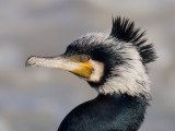 great cormorant(Phalacrocorax carbo)