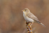 willow warbler(Phylloscopus trochilus)