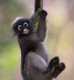 dusky leaf monkey<br><i>(Trachypithecus obscurus)</i>