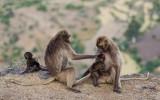 gelada family(Theropithecus gelada)