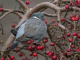 commom wood pigeon(Columba palumbus, NL: houtduif)