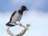 hooded crow(Corvus cornix)
