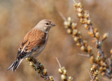 common linnet (f.)(Linaria cannabina, NL: kneu))