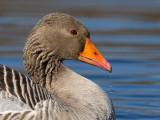 greylag goose(Anser anser, grauwe gans)