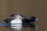 tufted duck(Aythya fuligula, NL: kuifeend)