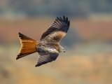 red kite(Milvus milvus, milano real (esp.))