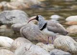 ibisbill(Ibidorhyncha struthersii)