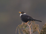 white-collared blackbird (m.)(Turdus albicinctus)