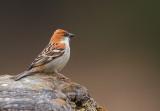 russet sparrow(Passer rutilans)