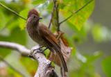 striated laughingthrush(Garrulux striatus)