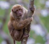 rhesus macaque(Macaca mulatta)