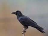 large-billed crow(Corvus macrorhynchos)