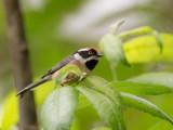 black-throated bushtit(Aegithalos concinnus)