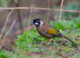 black-faced laughingthrush(Trochalopteron affine)