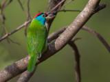 blue-throated barbet(Megalaima asiatica)