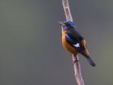 blue-capped rock thrush(Monticola cinclorhynchus)