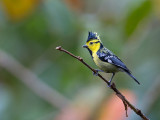 yellow-cheeked tit(Machlolophus spilonotus)