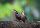 chestnut-bellied nuthatch(Sitta castanea)