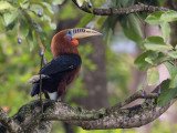 rufous-necked hornbill(Aceros nipalensis)