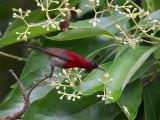 crimson sunbird(Aethopyga siparaja)
