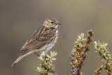 meadow pipit(Anthus pratensis, NL: graspieper)