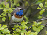 bluethroat(Luscinia svecica, NL: blauwborst)