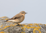 northern wheatear (f.)(Oenanthe oenanthe, NL: tapuit)