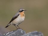 northern wheatear (m.)(Oenanthe oenanthe, NL: tapuit)