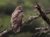 himalayan buzzard(Buteo burmanicus/refectus)