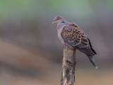 oriental turtle dove(Streptopelia orientalis)