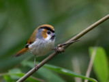 black-throated parrotbill(Paradoxornis nipalensis)