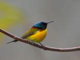 green-tailed sunbird(Aethopyga nipalensis)