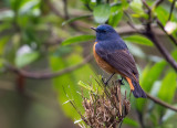 blue-fronted redstart(Phoenicurus frontalis)